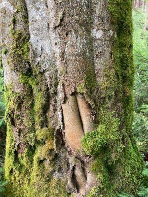 Czy drzewa się starzeją? Artykuł dr hab. Michała Bogdziewicza w PNAS