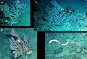 Zagadka dewońskich koralowców rozwiązana