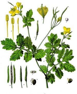 Jaskółcze ziele może pomóc w walce z COVID-19